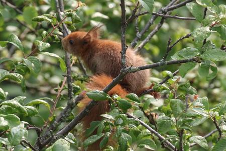Ecureuil roux  - Jack Ambert