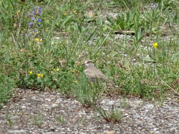 Little Ringed Plover  - Daniel Querio