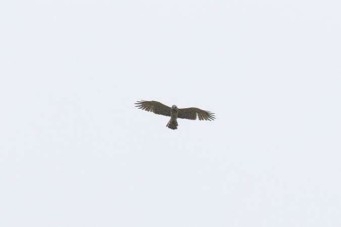 Short-toed Snake-eagle  - Pascal Favre