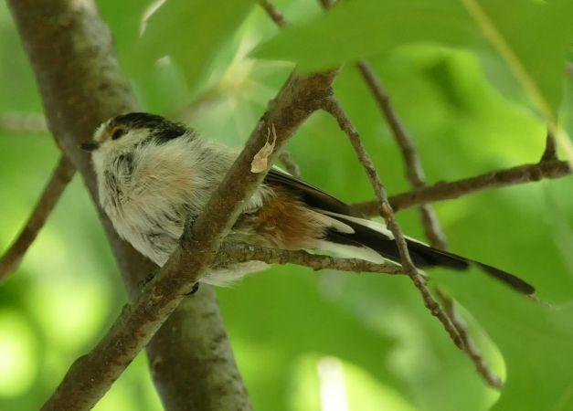 Long-tailed Tit  - Violetta Fontana