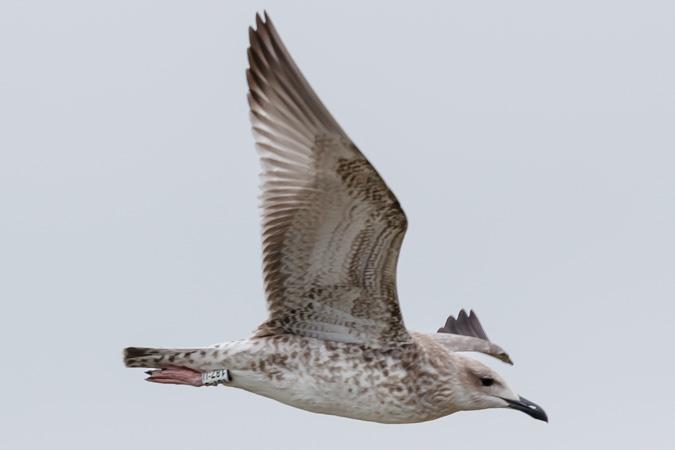 Caspian Gull  - Stephan Trösch