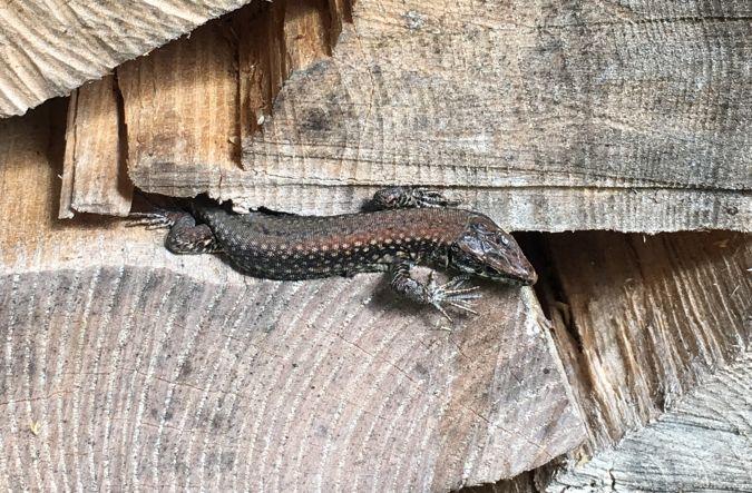 Common Wall Lizard  - Sylvia Dubach