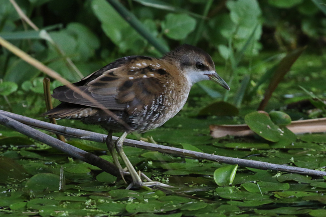 Little Crake  - Pascal Rapin