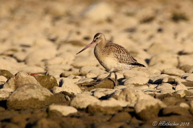 Bar-tailed Godwit  - Heinz Rothacher