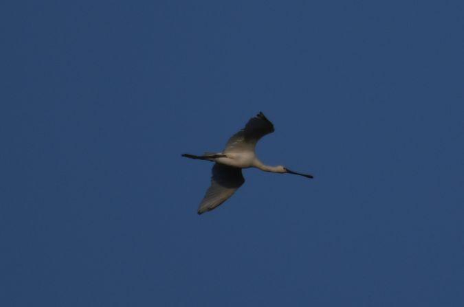 Eurasian Spoonbill  - Thomas Michel