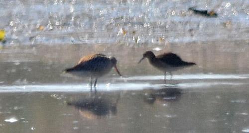 Bar-tailed Godwit  - Bert Stankowski