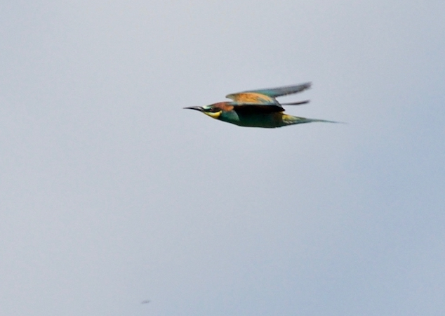 European Bee-eater  - Michel Maire