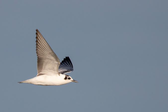 White-winged Tern  - Alexandre de Titta