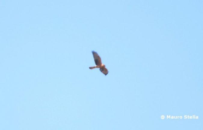 Montagu's Harrier  - Lucia Stella
