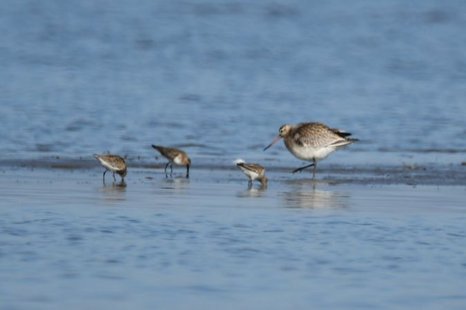 Bar-tailed Godwit  - Urs Vetterli