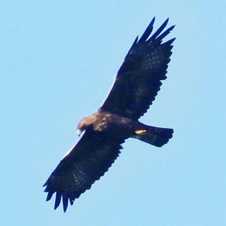 Golden Eagle  - Antoine Weis
