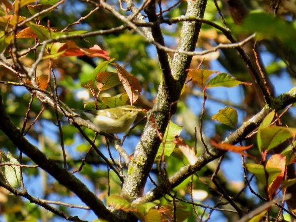 Yellow-browed Warbler  - Yvan Schmidt