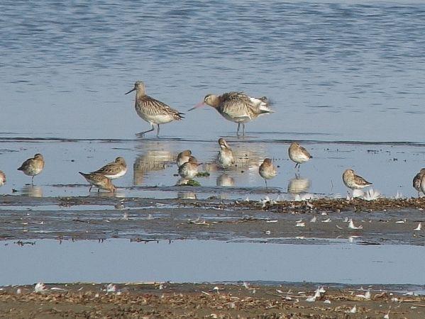 Bar-tailed Godwit  - Sepp Trittenbass