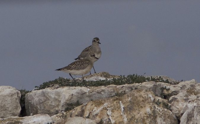Grey Plover  - Willy Daeppen