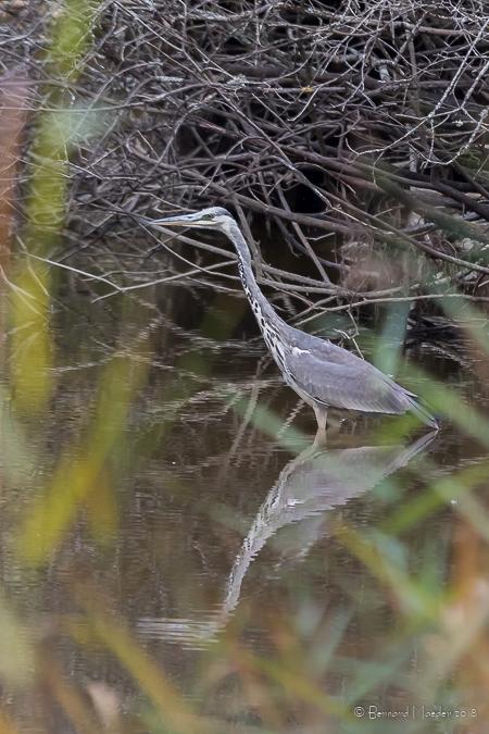 Grey Heron  - Bernard Maeder
