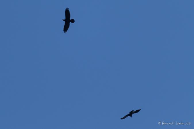 Common Raven  - Bernard Maeder