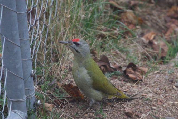 Grey-faced Woodpecker  - Adrian Gaberell