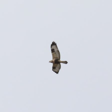 Rough-legged Buzzard  - Pascal Favre