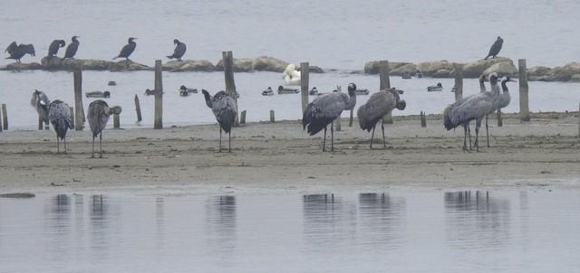 Common Crane  - Jean-Claude Muriset