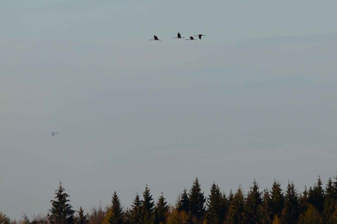 Common Crane  - Martin Roost