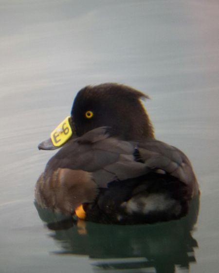 Tufted Duck  - Lorenz Mattes