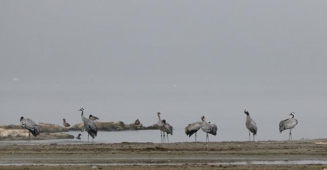 Common Crane  - Michel Muriset