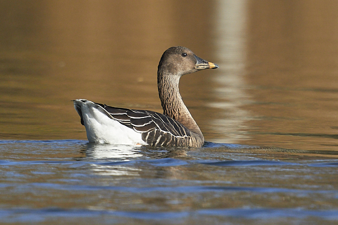 Bean Goose (A.f.rossicus)  - Werner Suter