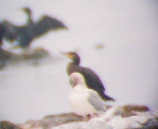 European Herring Gull  - Bert Stankowski