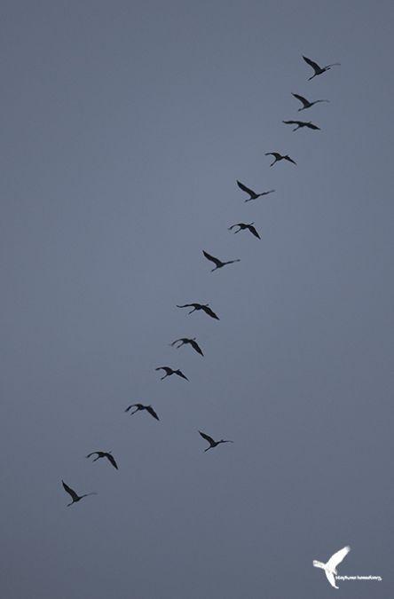 Common Crane  - Stephane Henneberg