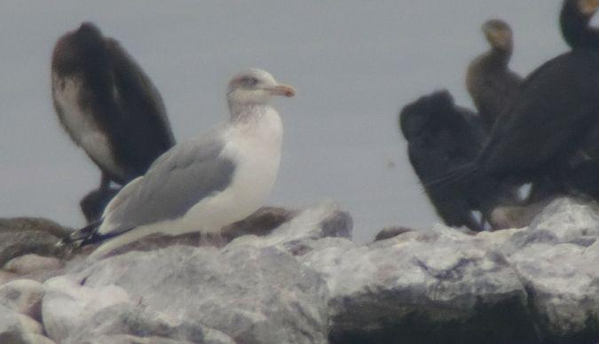 European Herring Gull  - Harry Kälin
