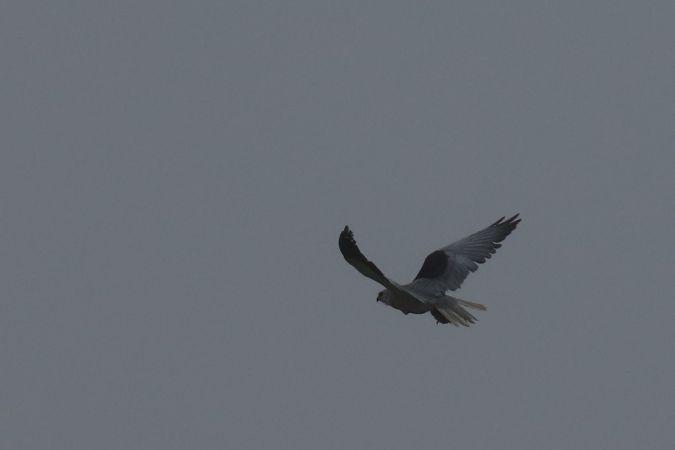 Black-winged Kite  - Leon Brüniger