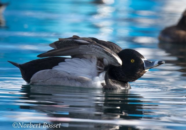 Ring-necked Duck  - Norbert Bosset