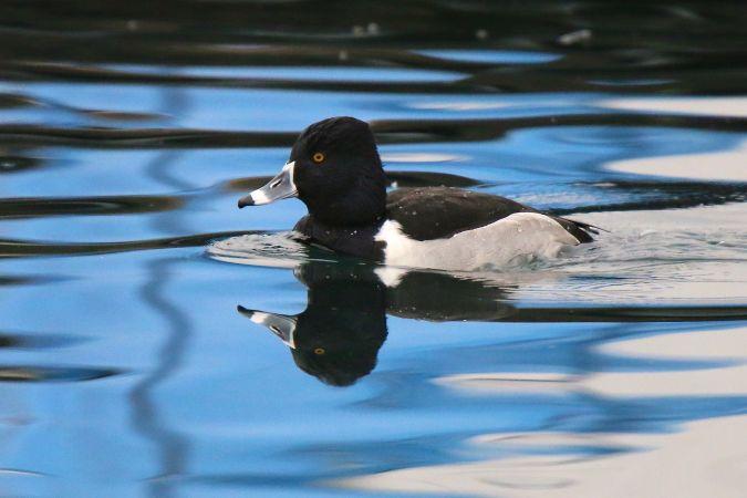Ring-necked Duck  - Jean-Marie Wicki