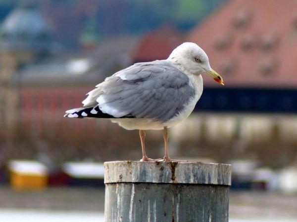 European Herring Gull  - Natascha Kunkel