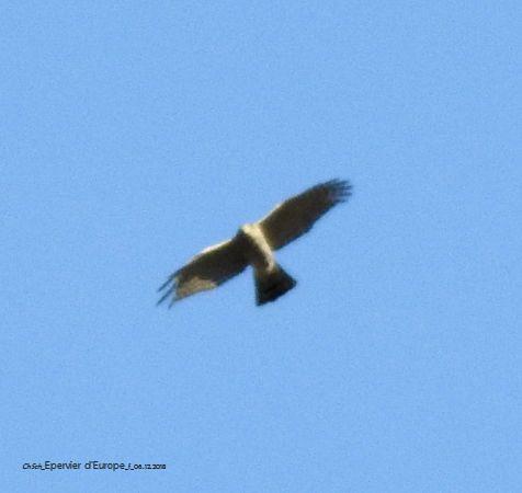 Eurasian Sparrowhawk  - Christiane Schwaller