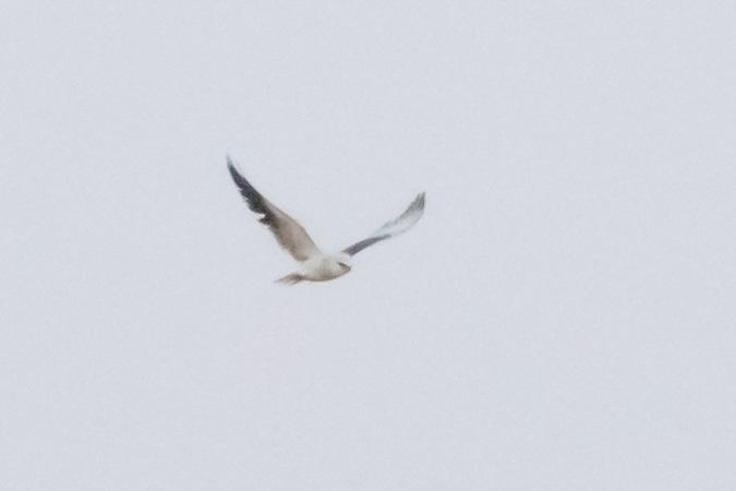Black-winged Kite  - Stephan Trösch