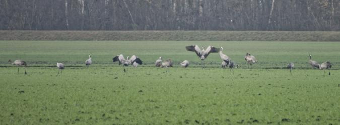 Common Crane  - Bernhard Müller