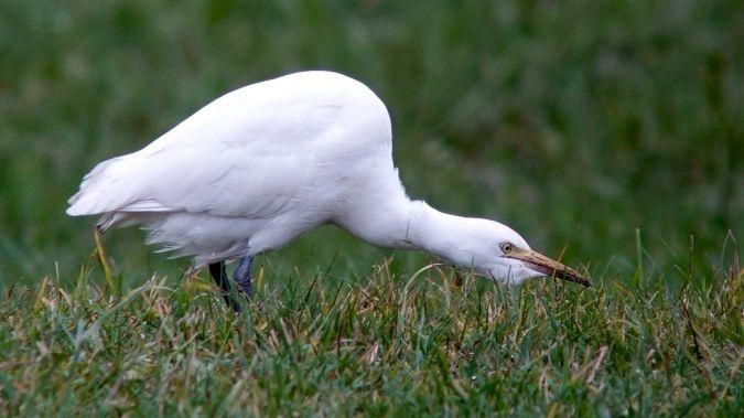 Cattle Egret  - Werner Eberhard