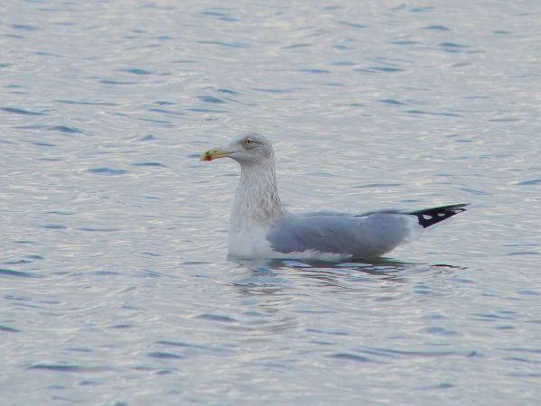 European Herring Gull  - Sepp Trittenbass