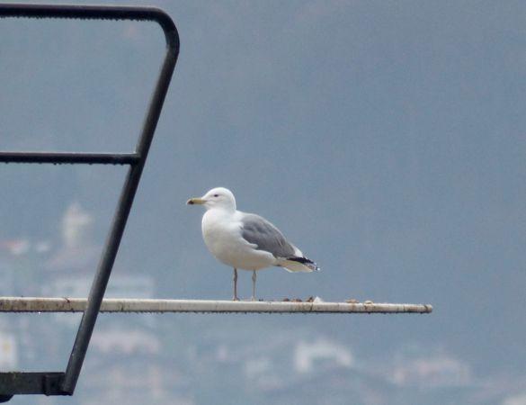 Caspian Gull  - Hervé Prisset