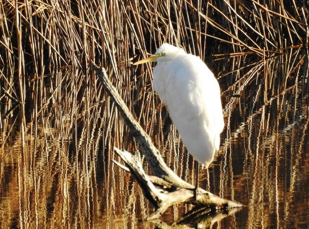 Great White Egret  - Eliane Carthoblaz