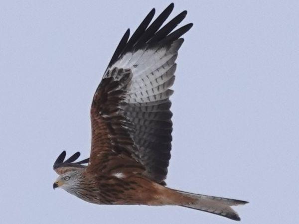 Red Kite  - Jean-Pierre Kolly