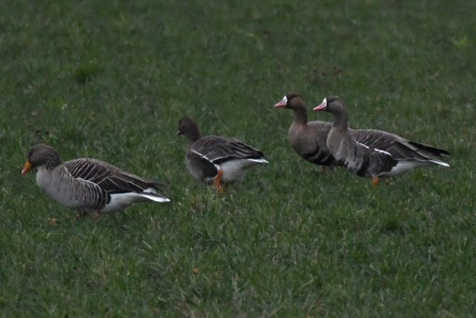 Greater White-fronted Goose  - Patrick Reymond