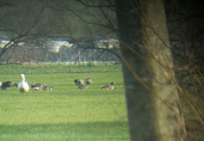 Greater White-fronted Goose  - Florian Blandenier