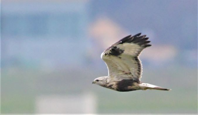 Rough-legged Buzzard  - Martin Kaufmann