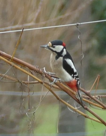 Great Spotted Woodpecker  - Violetta Fontana
