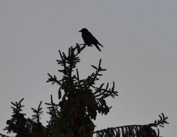 Hooded Crow  - Violetta Fontana