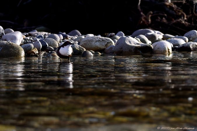 White-throated Dipper  - Alain Chappuis