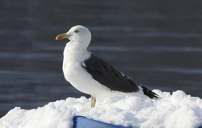 Lesser Black-backed Gull  - Marcel Straumann