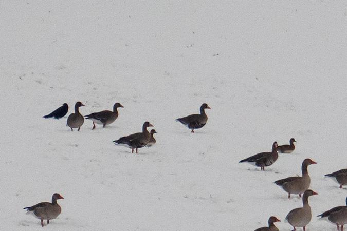 Greater White-fronted Goose  - Antonio Anta Brink